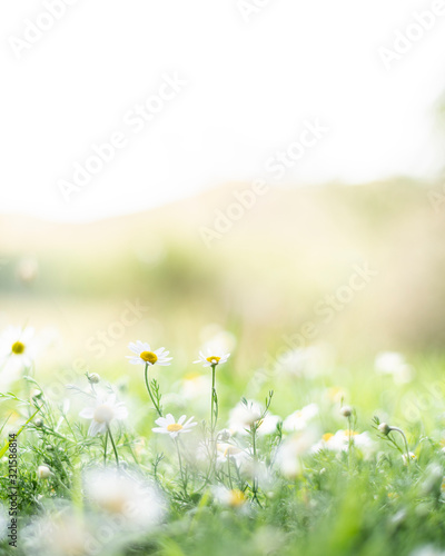 Canvas Print White and yellow daisy flowers growing in green grass