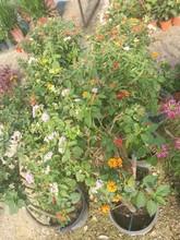 Tree Of Lantana Camara Flower Plant