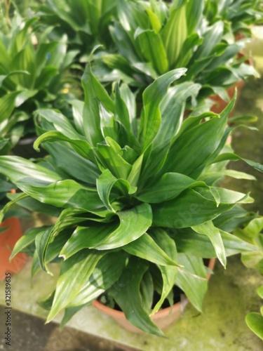 Photo leafly dracaena compacta houseplant