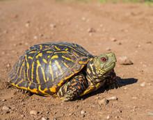 Male Ornate Box Turtle