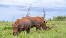 Two White Rhinos Crazing In Th...