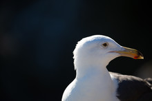 Portrait Of White Seagull With...