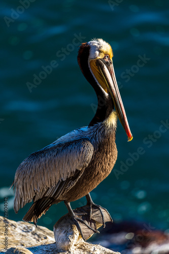 Portrait of large colorful pelican bird sitting on the rocky cliffs of La Jolla Canvas Print