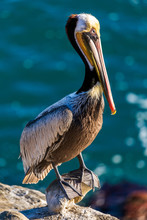 Portrait Of Large Colorful Pelican Bird Sitting On The Rocky Cliffs Of La Jolla Cove, San Diego, California