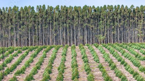 Fototapeta Trees Young Mature Gum Plantation Forestry Growing View Landscape obraz