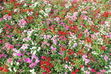 Flowerbed Of Dianthus Barbatus...