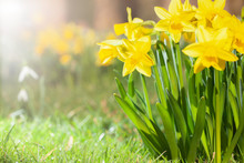 Daffodils Growing In A Spring ...