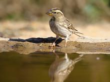 Rock Sparrow, Petronia Petronia