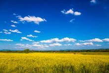 Yellow Hemp Field Under Blue Sky