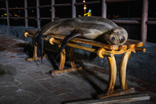 Funny Sea Lion Sleeping At Nig...