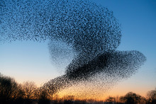 Beautiful Large Flock Of Starlings. A Flock Of Starlings Birds Fly In The Netherlands. During January And February, Hundreds Of Thousands Of Starlings Gathered In Huge Clouds. Hunting The Starlings.