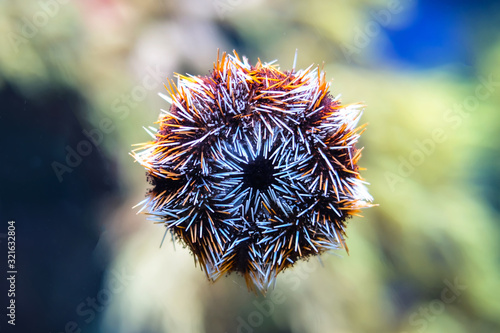 Photo closed up Sea urchin adhesion into the glass window, animal shown in the aquarium