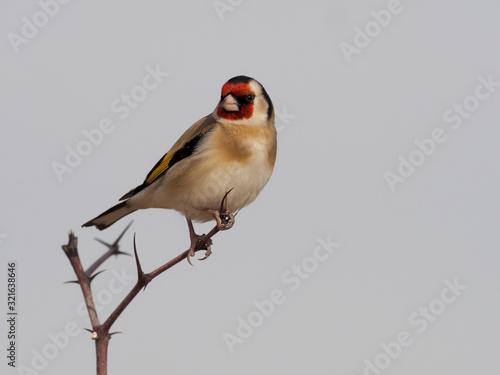 Fotomural Goldfinch, Carduelis carduelis