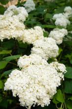 Srub Of Hydrangea Paniculata Silver Dollar White Flowers Vertical