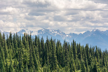 View Of Coniferous Trees On A ...