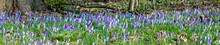 Detail Of Violet Crocus Bloomi...