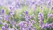 Lavender On The Field