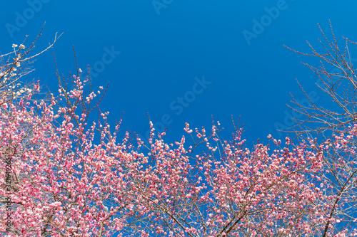 Fotomural 春を告げる紅梅