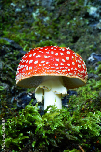 fly agaric mushroom in the forest Canvas Print