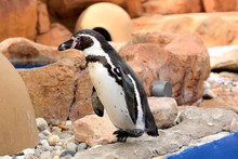 The Humboldt Penguin (Sphenisc...