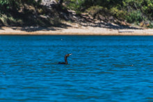 Cormorant Floating On A Marine Lake By The Beach