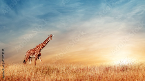 Cheetahs in the African savanna against the backdrop of beautiful sunset. Serengeti National Park. Tanzania. Africa. Copy space.