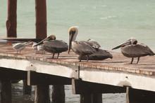 Uccelli Vari Pellicani Su Un Pontile In Messico