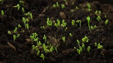 Plants Growing From Seeds In T...