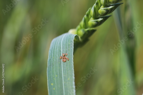 Fotografiet Colony of aphids on a wheat leaf