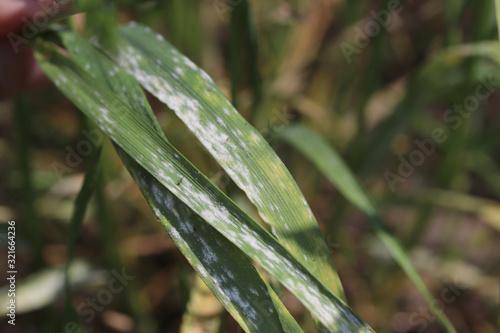 Vászonkép Powdery mildew- fungal disease of plants