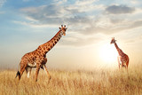 Fototapeta Sawanna - Giraffe in the African savanna against the backdrop of beautiful sunset. Serengeti National Park. Tanzania. Africa. Copy space.