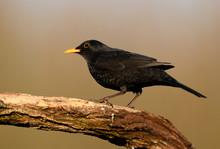 Blackbird (Turdus Merula) Clos...