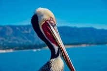 Pelican On The Wooden Jetty In...