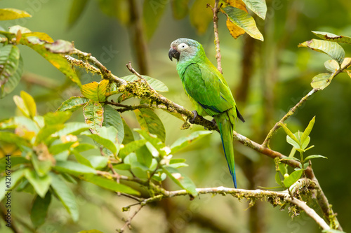 Photo Dusky-headed parakeet (Aratinga weddellii), also known as Weddell's conure or du