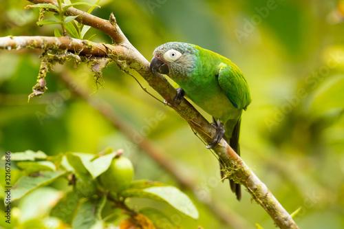 Dusky-headed parakeet (Aratinga weddellii), also known as Weddell's conure or du Wallpaper Mural