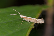 The Diamondback Moth (Plutella Xylostella), Sometimes Called The Cabbage Moth, Is A Moth Species Of The Family Plutellidae