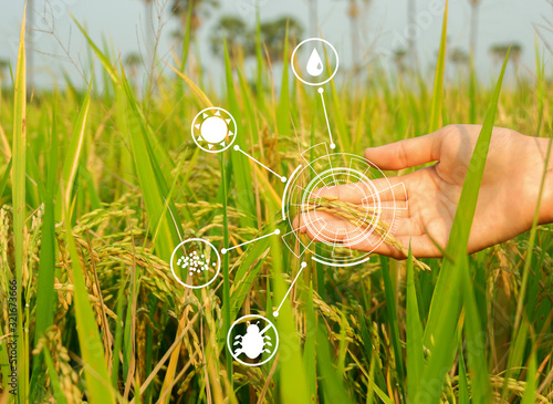Modern Agriculture Concept Hand Holding Ripe Ears Of Rice And Smart Farming Icon Technology On Paddy Background Buy This Stock Photo And Explore Similar Images At Adobe Stock Adobe Stock