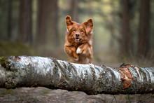 Happy Retriever Dog Jumping Ov...