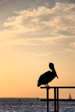 Pelican At Sunset In Key West,...