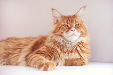 Red Maine Coon Cat Lying On A Table