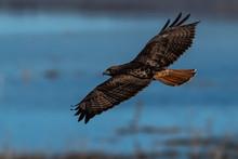 Red-tailed Hawk In Flight Hawks Flying