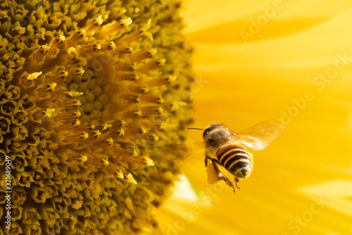 Bee is collecting nectar on sunflower. Wallpaper Mural