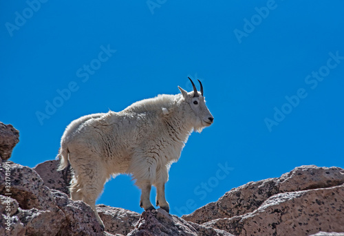 Horned White Goat on Mt. Evans makes his way in the snow. Fotobehang