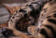 Bengal Cat Lying On The Shelf