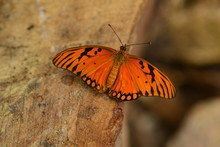 Gulf Fritillary Butterfly, Macro Image Of An Insect From The Southern States Of America.