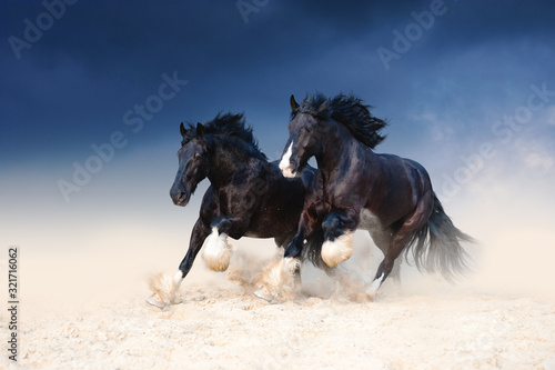 Fototapeta Two heavy-duty black beautiful horse galloping along the sand, kicking up dust on the background of a stormy sky. Pair of horses running free. obraz
