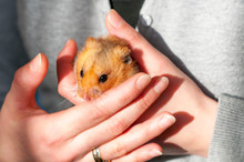 Syrian Hamster (Mesocricetus A...