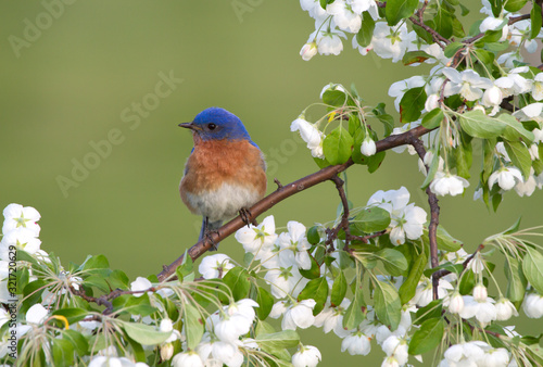 Male Eastern Bluebird in White Blossoms Tablou Canvas