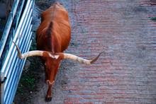 A Texas Longhorn Bull Heads Ba...