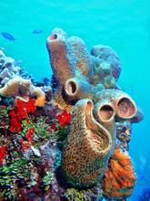 Sponges In Coral Reef